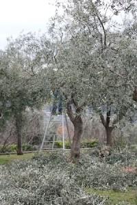 olivetreepruning300